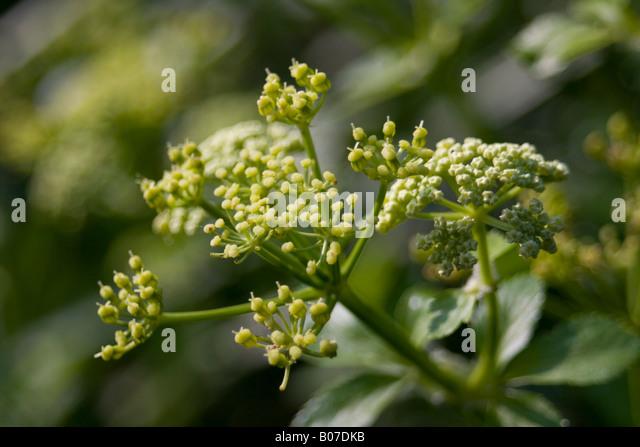 aplaceae smyrnium olusatrum Stock Photo