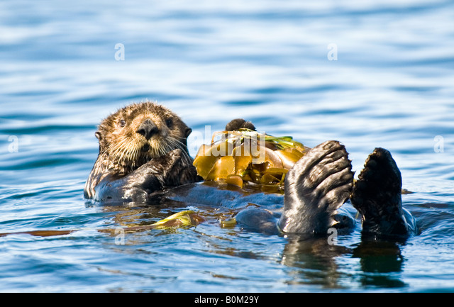 USA Alaska Sea Otter resting on kelp bed in ocean Stock Foto