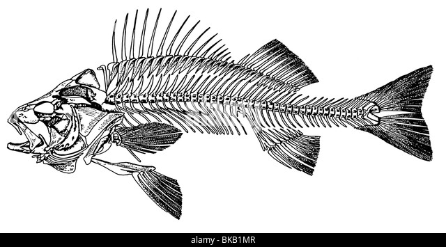 european perch  common perch  perca fluviatilis   drawing of stock photo  royalty free image