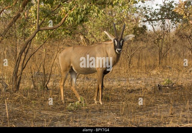 roan antelope hippotragus equinus r serve de fathala