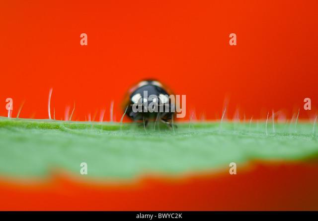 Coccinella septempunctata - Coccinella 7-punctata - 7-spot Ladybird on a red poppy flower petal Stock Foto
