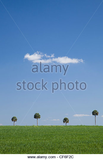 Palm Trees, Central Florida Stock Foto