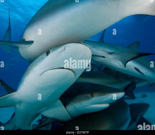 Reef sharks swimming underwater Stock Foto