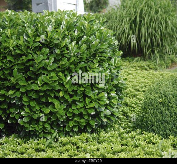 cherry laurel prunus laurocerasus 39 rotundifolia 39 prunus. Black Bedroom Furniture Sets. Home Design Ideas