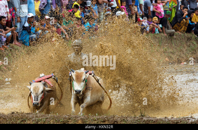 Tradition mud cow racing sport Pacu Jawi with spectator crowd. Stock Foto