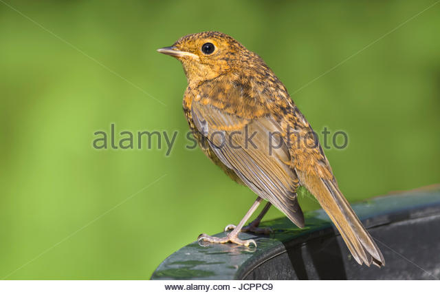 Small orange bird. Stock Photo